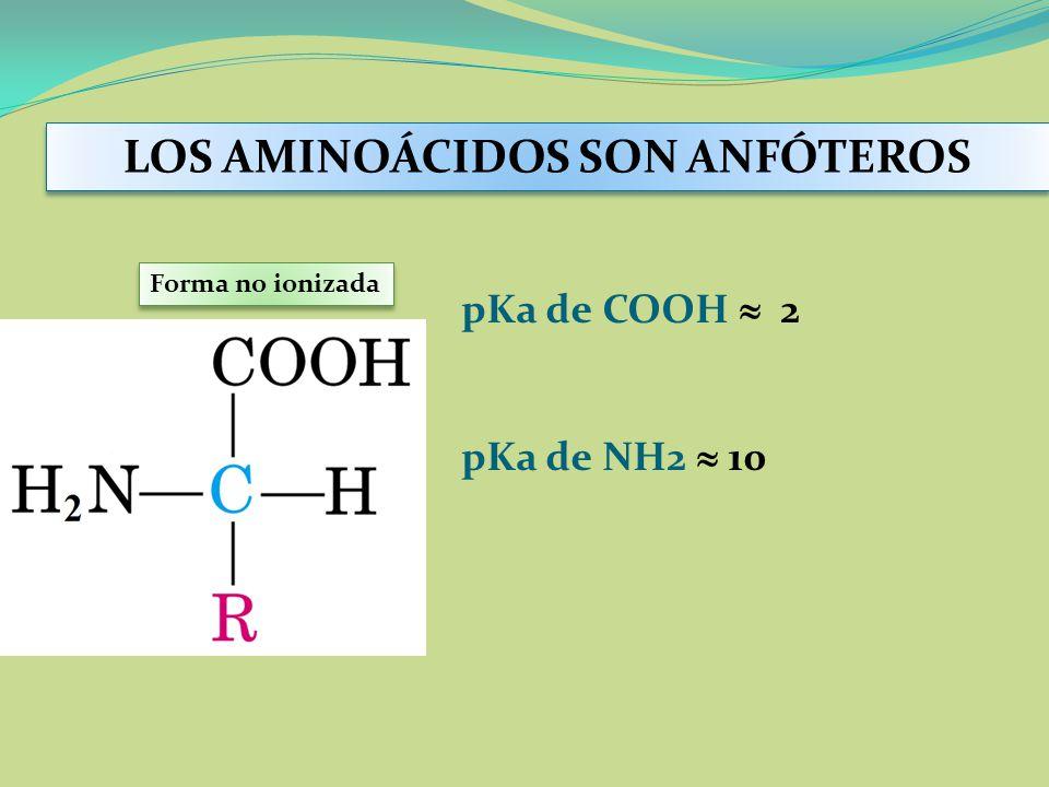 pKa de COOH 2 pKa de NH2 10 Forma no ionizada LOS AMINOÁCIDOS SON ANFÓTEROS