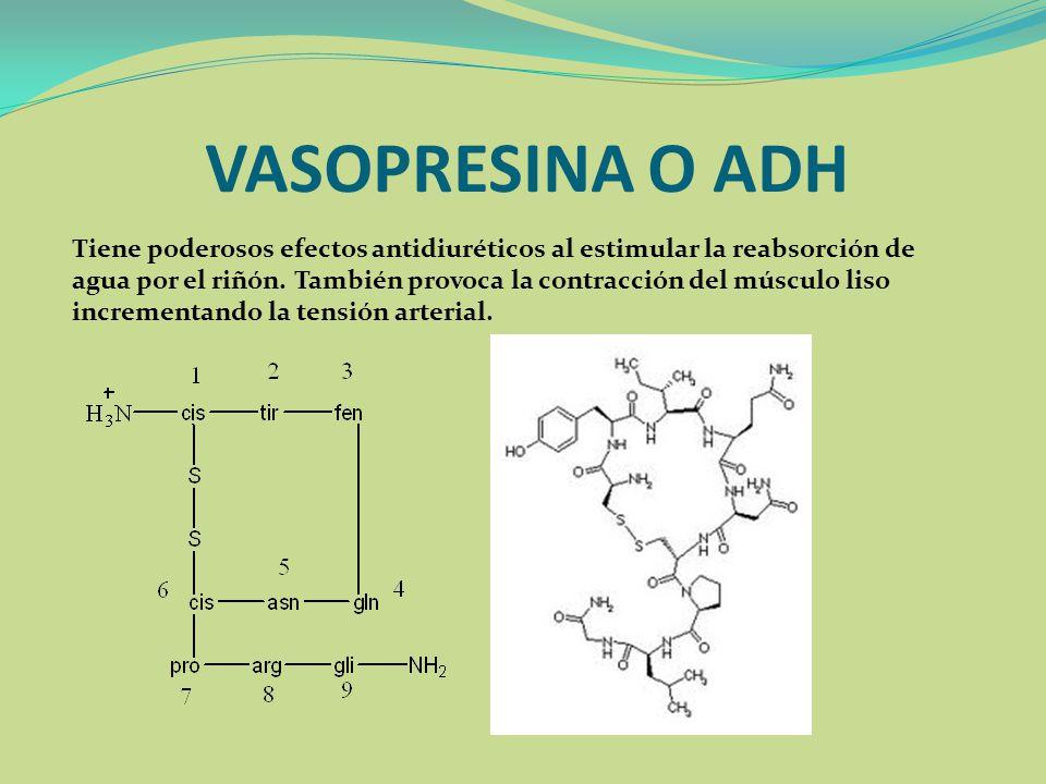 VASOPRESINA O ADH Tiene poderosos efectos antidiuréticos al estimular la reabsorción de agua por el riñón. También provoca la contracción del músculo