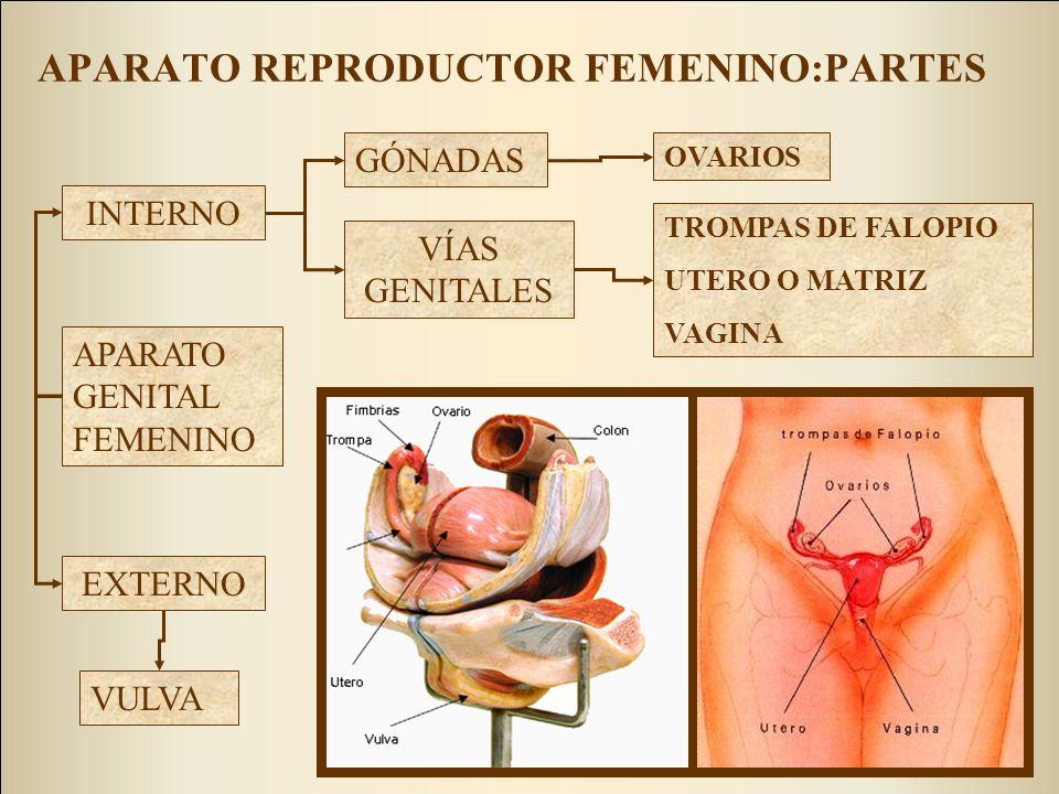 APARATO REPRODUCTOR FEMENINO:PARTES GÓNADAS VÍAS GENITALES INTERNO EXTERNO OVARIOS TROMPAS DE FALOPIO UTERO O MATRIZ VAGINA APARATO GENITAL FEMENINO V
