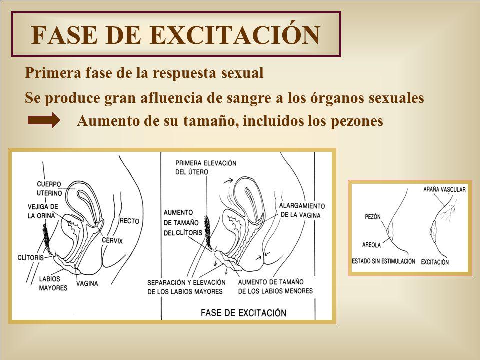 FASE DE EXCITACIÓN Primera fase de la respuesta sexual Se produce gran afluencia de sangre a los órganos sexuales Aumento de su tamaño, incluidos los