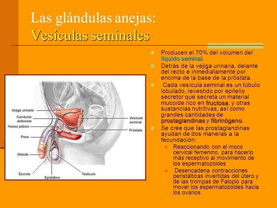 Vesículas seminales Las glándulas anejas: Vesículas seminales líquido seminal Producen el 70% del volumen del líquido seminal. Detrás de la vejiga uri