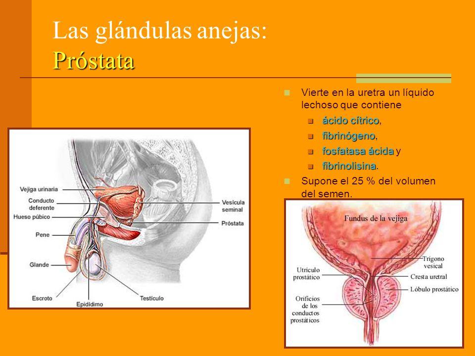 Próstata Las glándulas anejas: Próstata Vierte en la uretra un líquido lechoso que contiene ácido cítrico ácido cítrico, fibrinógeno fibrinógeno, fosfatasa ácida fosfatasa ácida y fibrinolisina fibrinolisina.