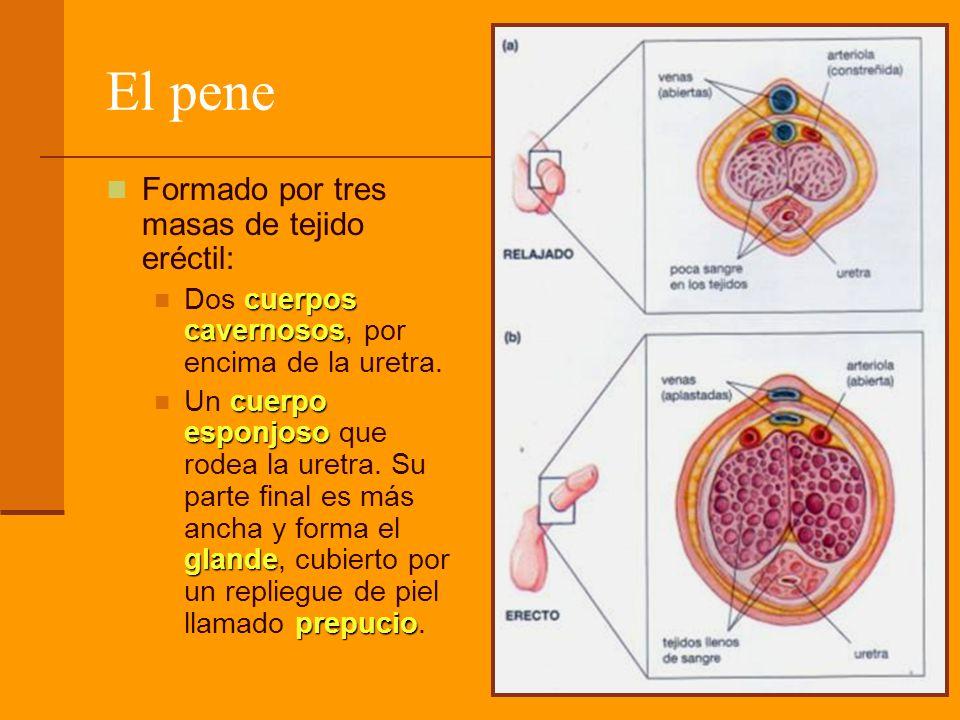 El pene Formado por tres masas de tejido eréctil: cuerpos cavernosos Dos cuerpos cavernosos, por encima de la uretra. cuerpo esponjoso glande prepucio