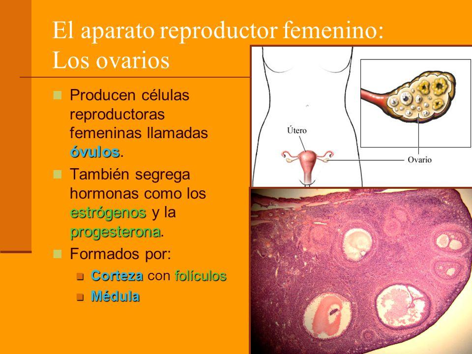 El aparato reproductor femenino: Los ovarios óvulos Producen células reproductoras femeninas llamadas óvulos. estrógenos progesterona También segrega
