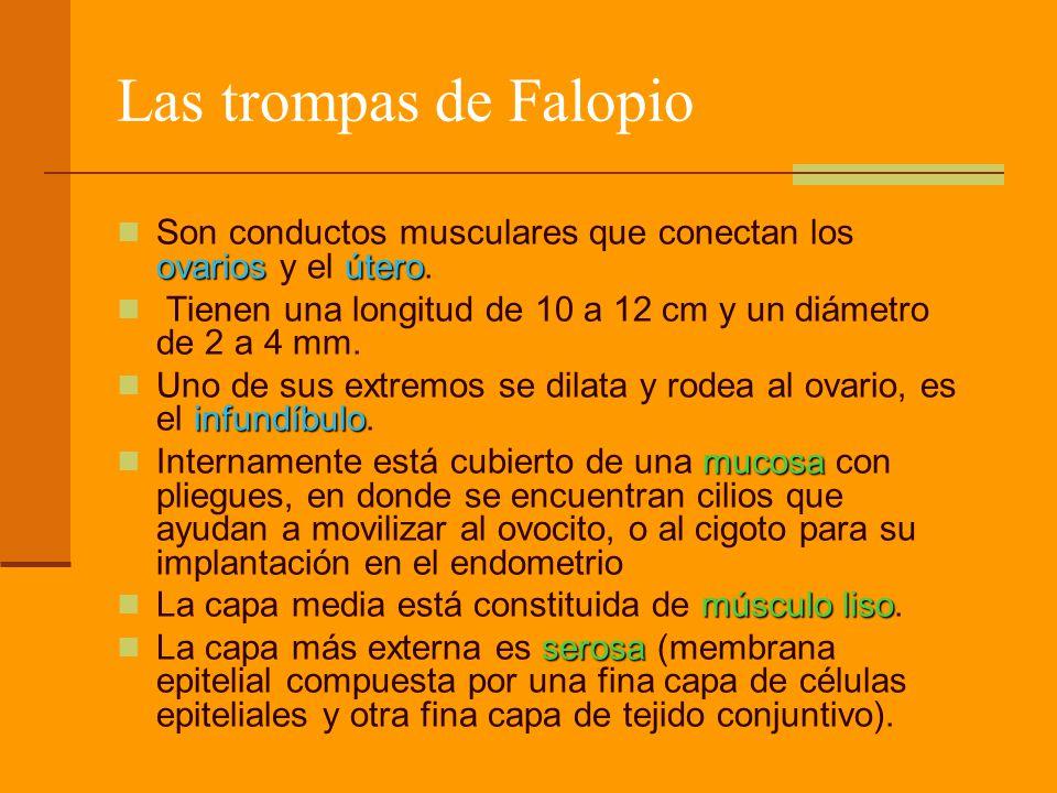 Las trompas de Falopio ovariosútero Son conductos musculares que conectan los ovarios y el útero. Tienen una longitud de 10 a 12 cm y un diámetro de 2
