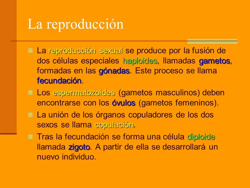La reproducción reproducción sexual haploidesgametos gónadas fecundación La reproducción sexual se produce por la fusión de dos células especiales haploides, llamadas gametos, formadas en las gónadas.