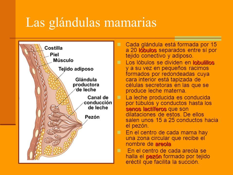 Las glándulas mamarias lóbulos Cada glándula está formada por 15 a 20 lóbulos separados entre sí por tejido conectivo y adiposo. lobulillos Los lóbulo