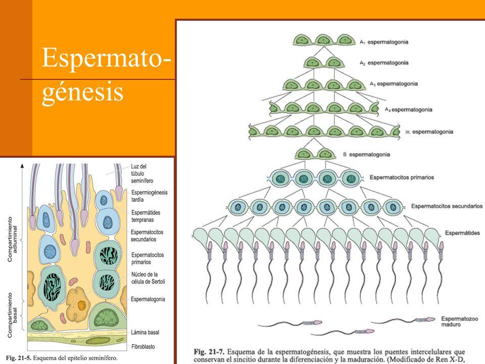 Espermato- génesis