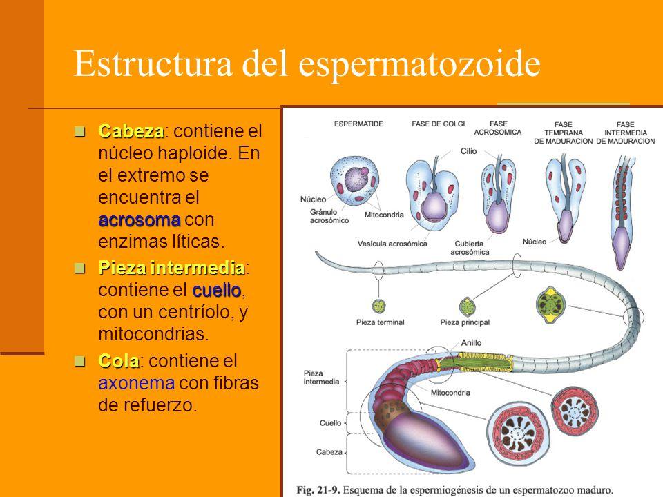 Estructura del espermatozoide Cabeza acrosoma Cabeza: contiene el núcleo haploide. En el extremo se encuentra el acrosoma con enzimas líticas. Pieza i