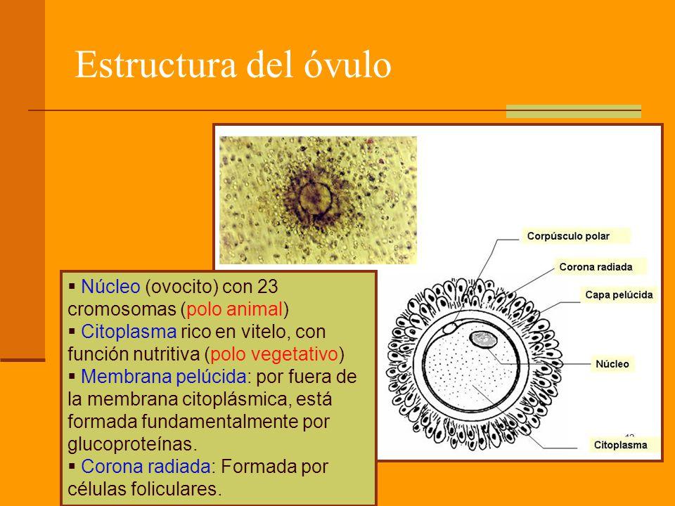 Estructura del óvulo Núcleo (ovocito) con 23 cromosomas (polo animal) Citoplasma rico en vitelo, con función nutritiva (polo vegetativo) Membrana pelúcida: por fuera de la membrana citoplásmica, está formada fundamentalmente por glucoproteínas.