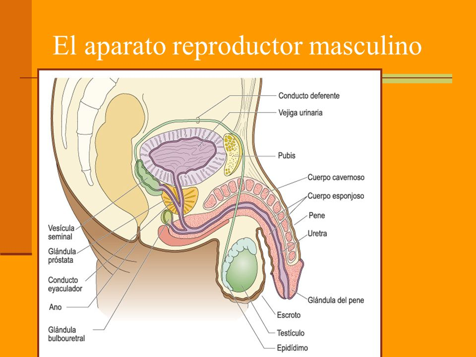 El pene Formado por tres masas de tejido eréctil: cuerpos cavernosos Dos cuerpos cavernosos, por encima de la uretra.