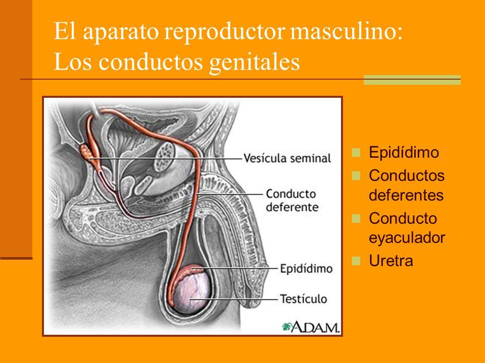 El aparato reproductor masculino: Los conductos genitales Epidídimo Conductos deferentes Conducto eyaculador Uretra