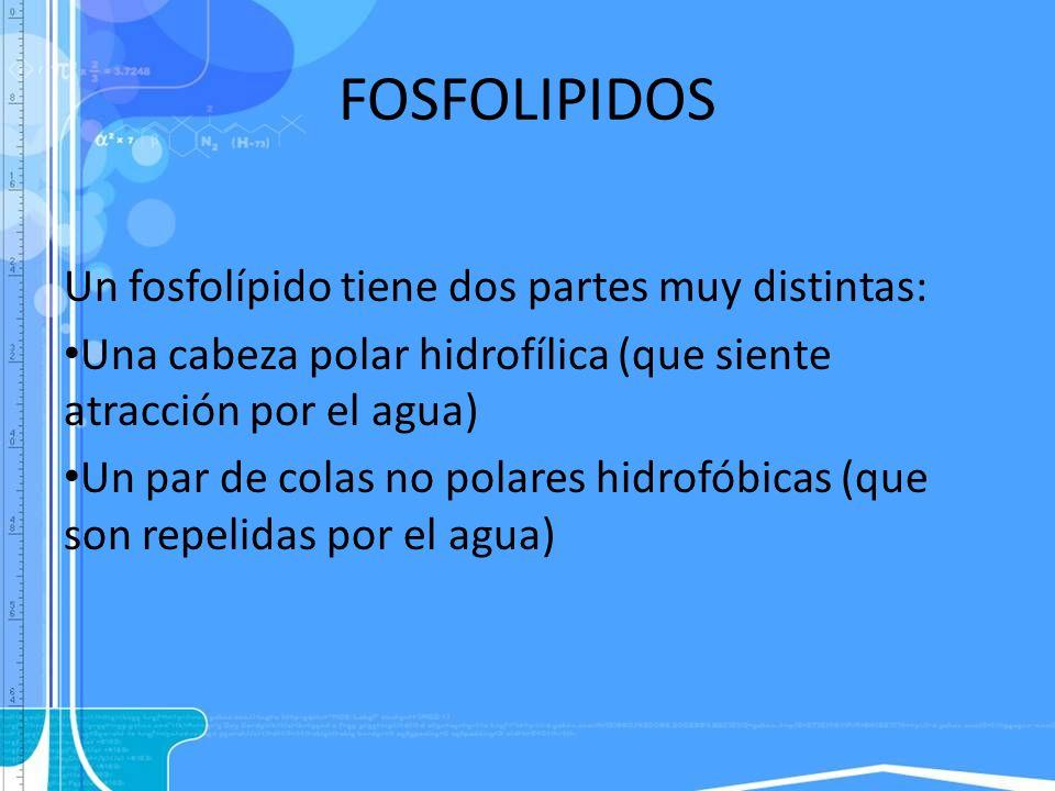 FOSFOLIPIDOS Un fosfolípido tiene dos partes muy distintas: Una cabeza polar hidrofílica (que siente atracción por el agua) Un par de colas no polares