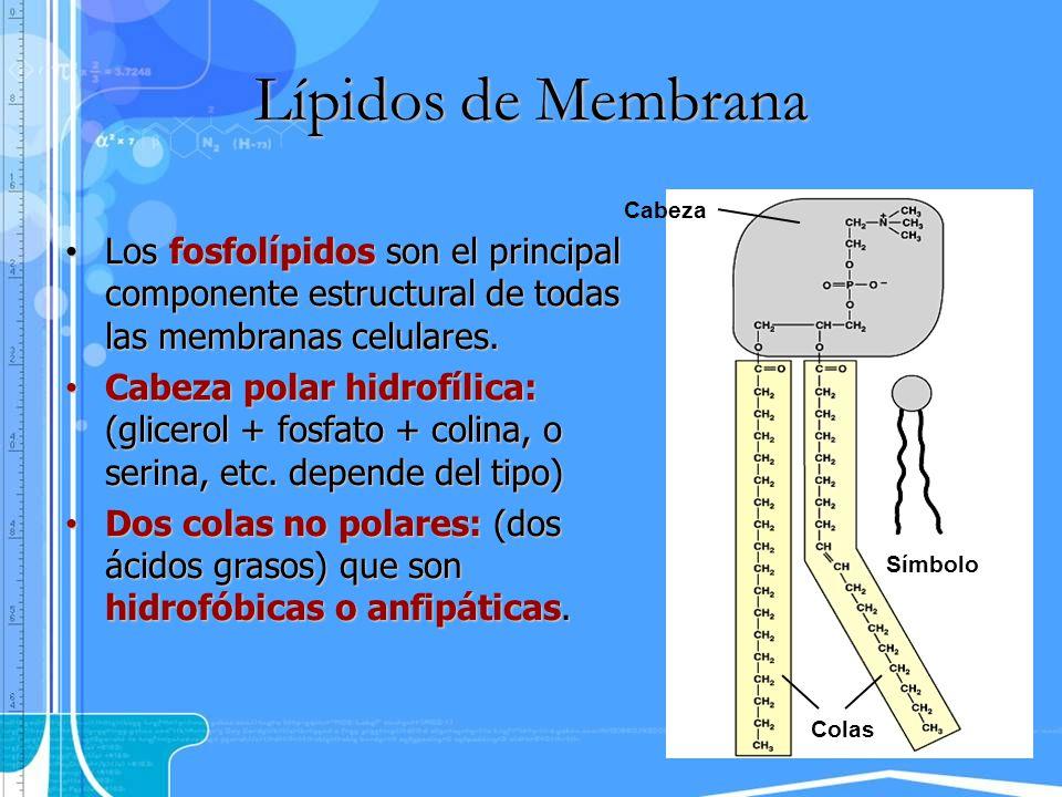 Los fosfolípidos son el principal componente estructural de todas las membranas celulares. Los fosfolípidos son el principal componente estructural de