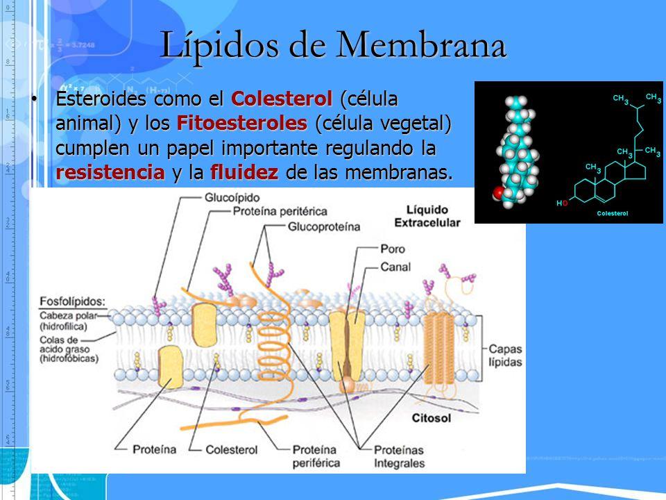 Lípidos de Membrana Esteroides como el Colesterol (célula animal) y los Fitoesteroles (célula vegetal) cumplen un papel importante regulando la resist