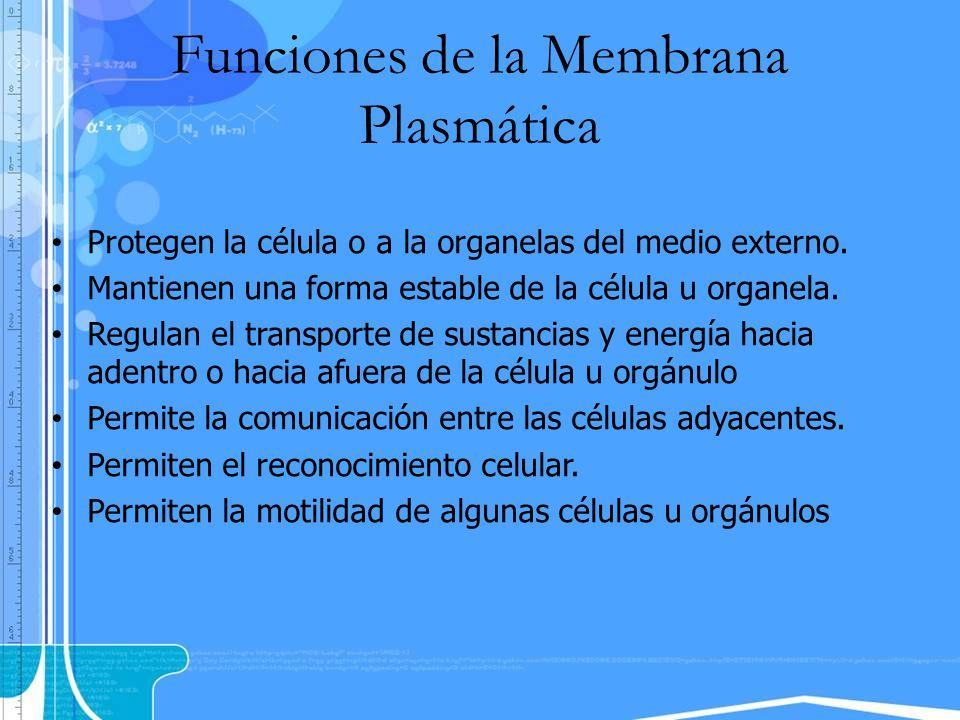 Funciones de la Membrana Plasmática Protegen la célula o a la organelas del medio externo. Mantienen una forma estable de la célula u organela. Regula