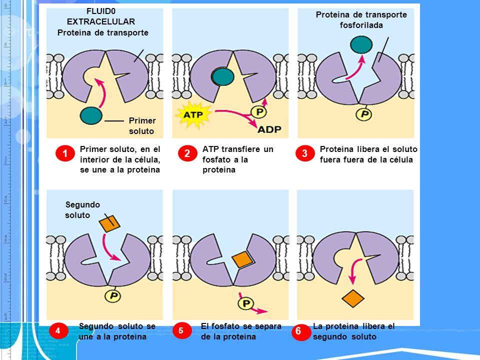 Proteína de transporte 1 FLUID0 EXTRACELULAR Primer soluto Primer soluto, en el interior de la célula, se une a la proteína Proteína de transporte fos
