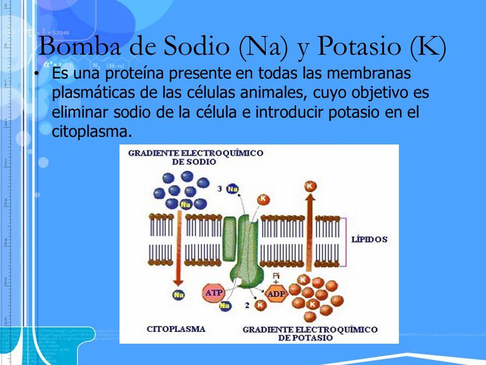 Bomba de Sodio (Na) y Potasio (K) Es una proteína presente en todas las membranas plasmáticas de las células animales, cuyo objetivo es eliminar sodio