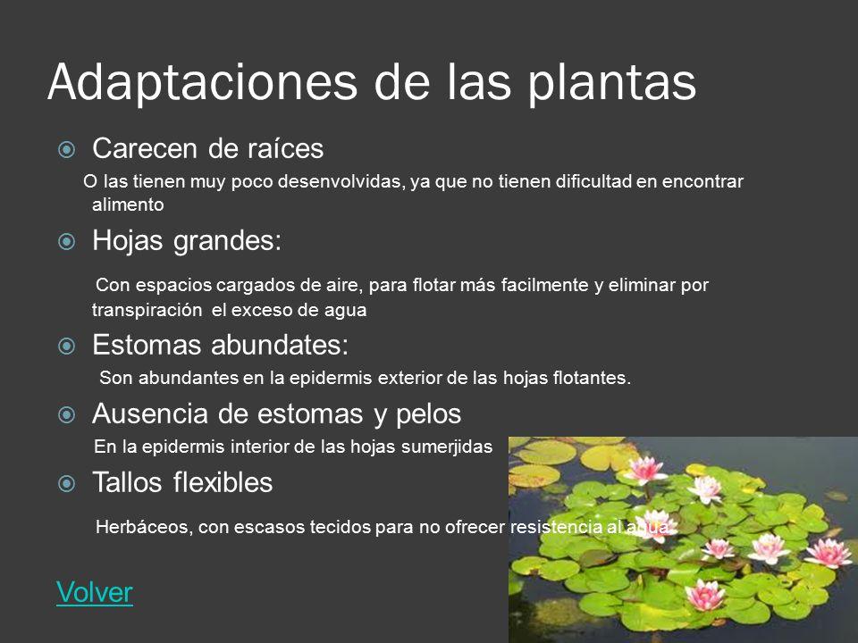 Adaptaciones de las plantas Carecen de raíces O las tienen muy poco desenvolvidas, ya que no tienen dificultad en encontrar alimento Hojas grandes: Co