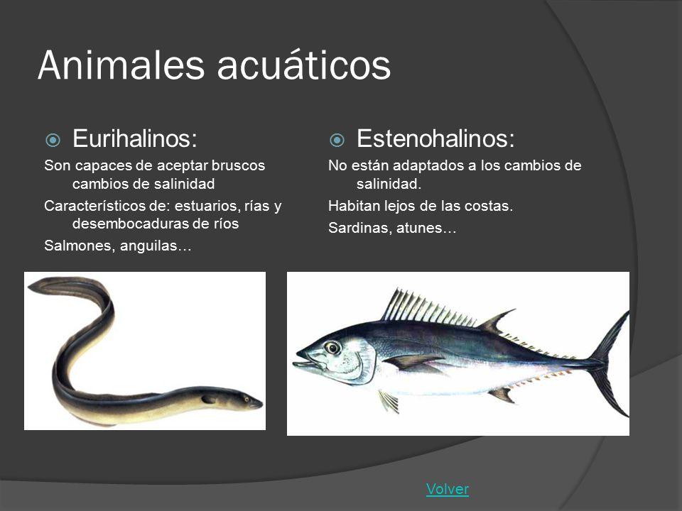 Animales acuáticos Eurihalinos: Son capaces de aceptar bruscos cambios de salinidad Característicos de: estuarios, rías y desembocaduras de ríos Salmo