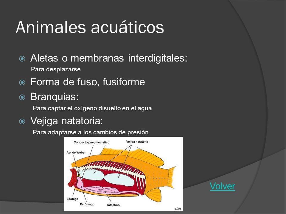 Animales acuáticos Aletas o membranas interdigitales: Para desplazarse Forma de fuso, fusiforme Branquias: Para captar el oxígeno disuelto en el agua