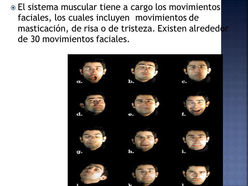 El sistema muscular tiene a cargo los movimientos faciales, los cuales incluyen movimientos de masticación, de risa o de tristeza. Existen alrededor d