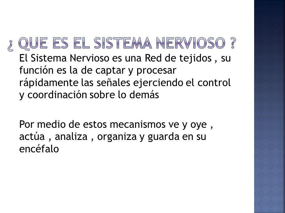El sistema nervioso se divide en Sistema Nervioso Central Sistema Nervioso Periférico