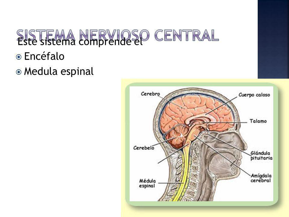 Este sistema comprende el Encéfalo Medula espinal