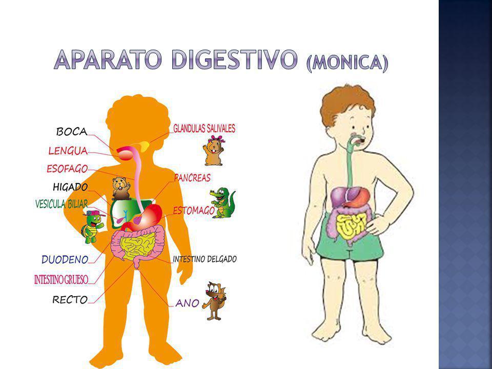 La digestión es un proceso realizado por el organismo para trasformar los alimentos en energía y por supuesto en vitaminas, minerales etc.
