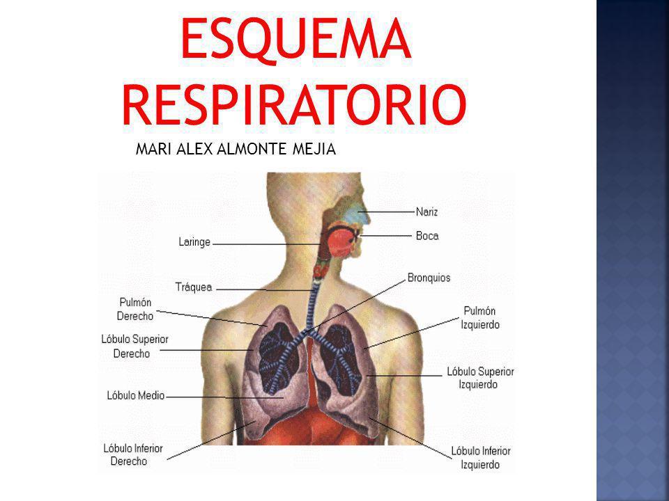 MECÁNICA RESPIRATORIA El aire se inhala por la nariz, donde se calienta y humedece.