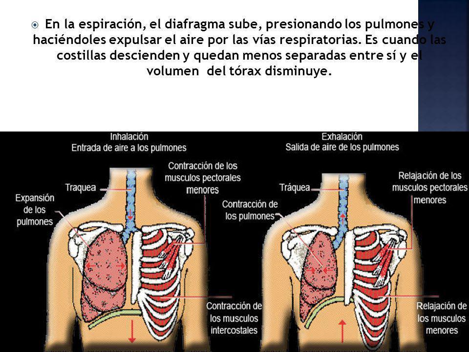 En la espiración, el diafragma sube, presionando los pulmones y haciéndoles expulsar el aire por las vías respiratorias. Es cuando las costillas desci