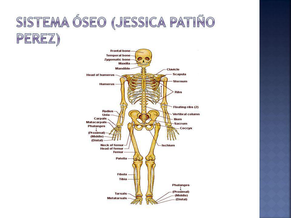 Está formado por un conjunto de estructuras sólidas compuestas básicamente por tejido óseo, que se denominan huesos.