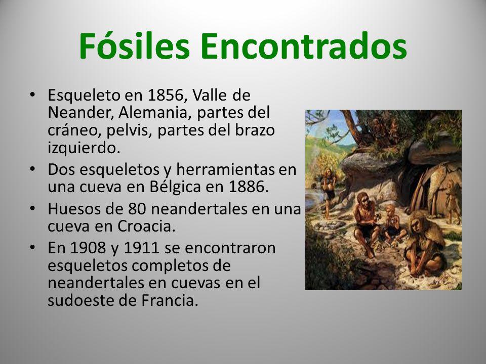 Fósiles Encontrados Esqueleto en 1856, Valle de Neander, Alemania, partes del cráneo, pelvis, partes del brazo izquierdo. Dos esqueletos y herramienta