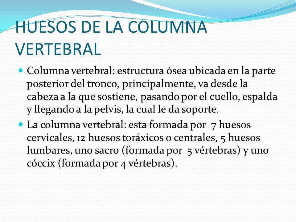 HUESOS DE LA COLUMNA VERTEBRAL Columna vertebral: estructura ósea ubicada en la parte posterior del tronco, principalmente, va desde la cabeza a la que sostiene, pasando por el cuello, espalda y llegando a la pelvis, la cual le da soporte.