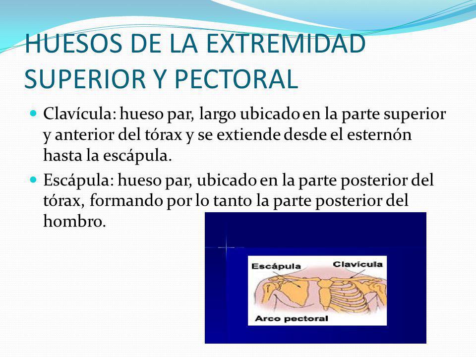 HUESOS DE LA EXTREMIDAD SUPERIOR Y PECTORAL Clavícula: hueso par, largo ubicado en la parte superior y anterior del tórax y se extiende desde el esternón hasta la escápula.