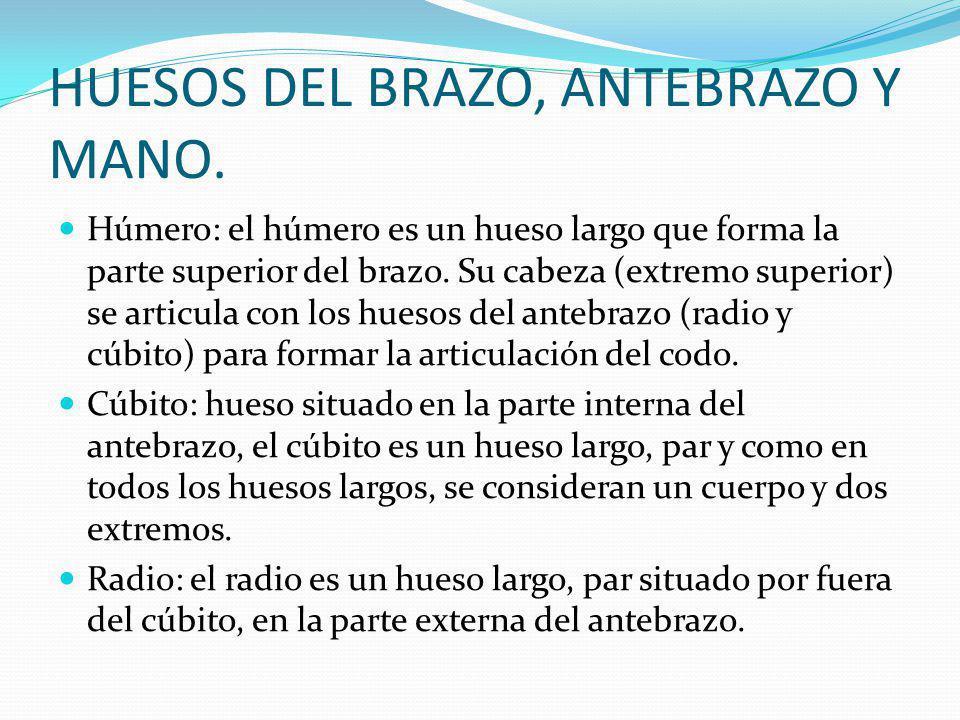 HUESOS DEL BRAZO, ANTEBRAZO Y MANO.