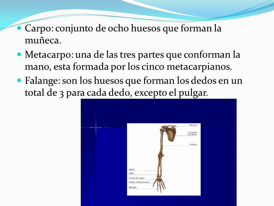 Carpo: conjunto de ocho huesos que forman la muñeca.