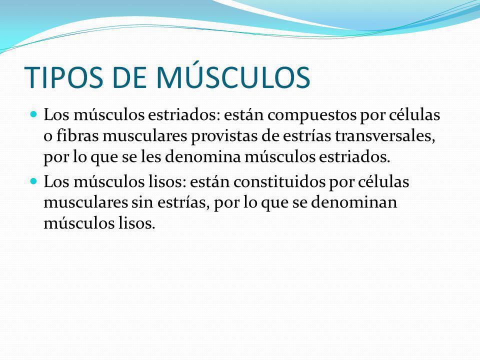 TIPOS DE MÚSCULOS Los músculos estriados: están compuestos por células o fibras musculares provistas de estrías transversales, por lo que se les denomina músculos estriados.