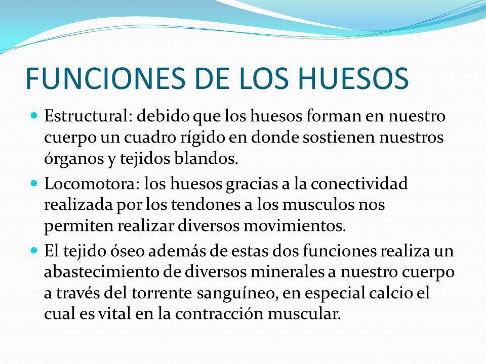 FUNCIONES DE LOS HUESOS Estructural: debido que los huesos forman en nuestro cuerpo un cuadro rígido en donde sostienen nuestros órganos y tejidos blandos.