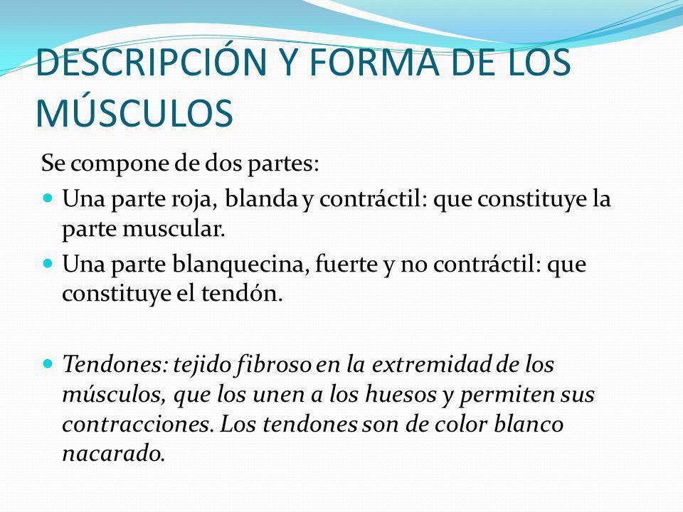 DESCRIPCIÓN Y FORMA DE LOS MÚSCULOS Se compone de dos partes: Una parte roja, blanda y contráctil: que constituye la parte muscular.