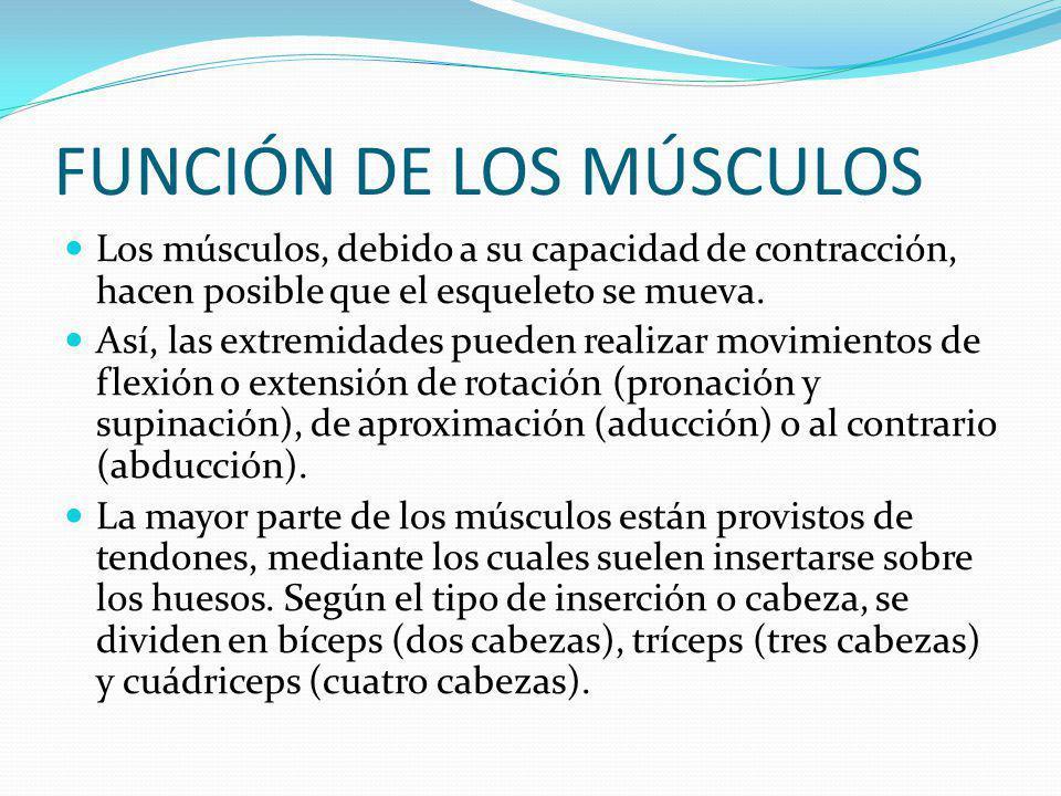 FUNCIÓN DE LOS MÚSCULOS Los músculos, debido a su capacidad de contracción, hacen posible que el esqueleto se mueva.