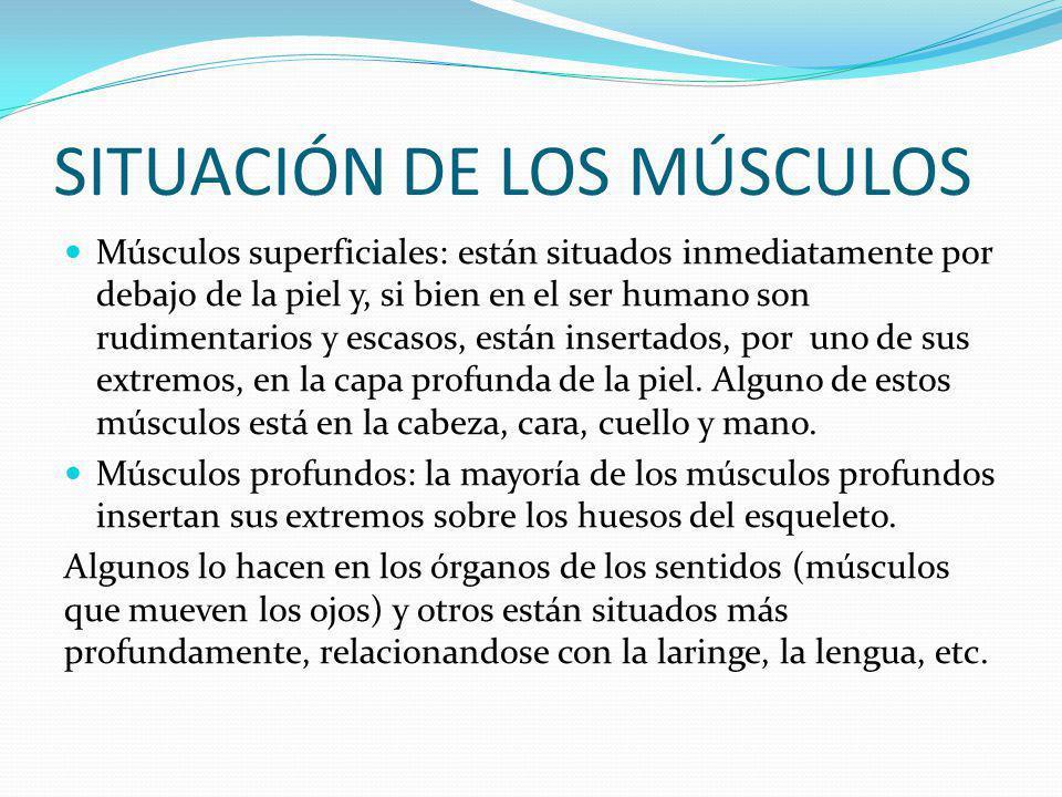 SITUACIÓN DE LOS MÚSCULOS Músculos superficiales: están situados inmediatamente por debajo de la piel y, si bien en el ser humano son rudimentarios y escasos, están insertados, por uno de sus extremos, en la capa profunda de la piel.