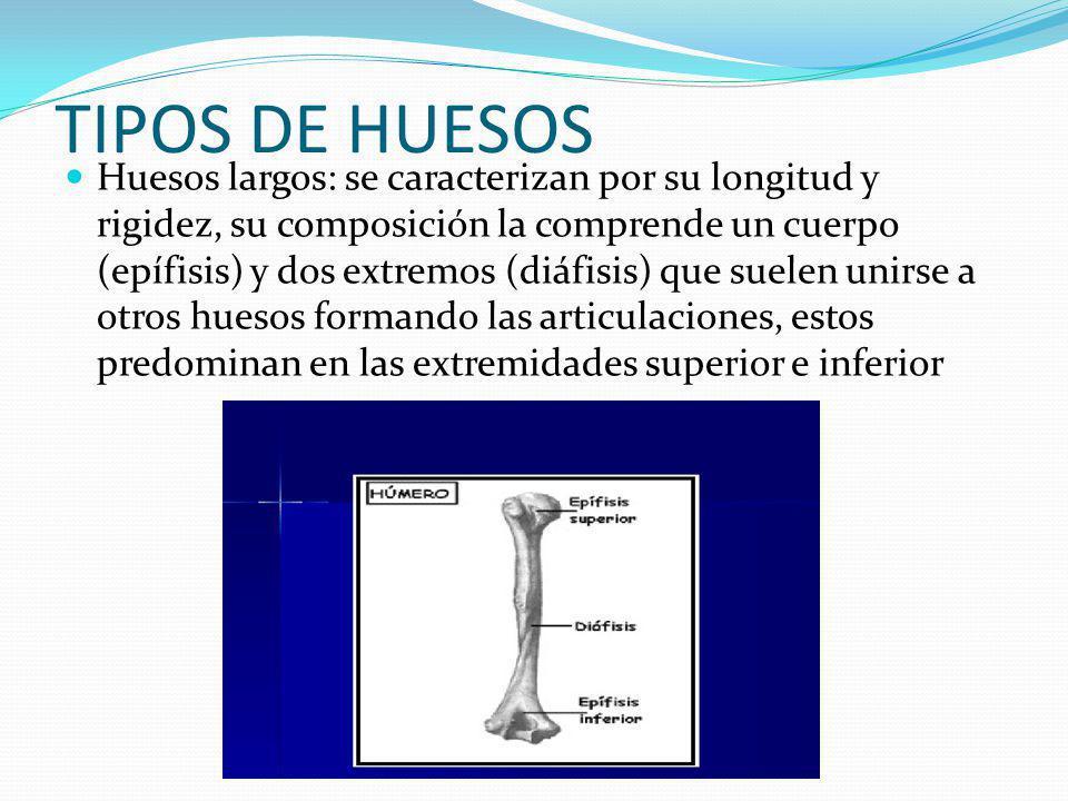TIPOS DE HUESOS Huesos largos: se caracterizan por su longitud y rigidez, su composición la comprende un cuerpo (epífisis) y dos extremos (diáfisis) que suelen unirse a otros huesos formando las articulaciones, estos predominan en las extremidades superior e inferior