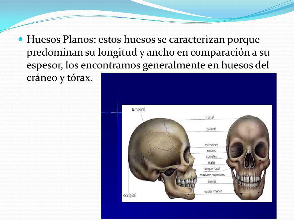 Huesos Planos: estos huesos se caracterizan porque predominan su longitud y ancho en comparación a su espesor, los encontramos generalmente en huesos del cráneo y tórax.