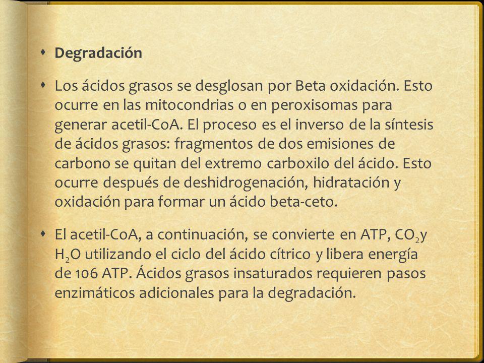 Degradación Los ácidos grasos se desglosan por Beta oxidación. Esto ocurre en las mitocondrias o en peroxisomas para generar acetil-CoA. El proceso es