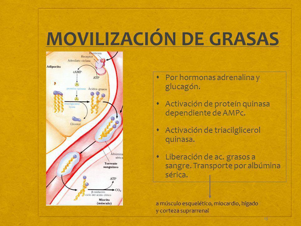 13 MOVILIZACIÓN DE GRASAS Por hormonas adrenalina y glucagón. Activación de proteín quinasa dependiente de AMPc. Activación de triacilglicerol quinasa