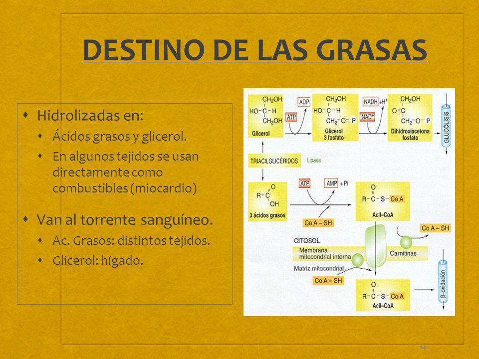 14 DESTINO DE LAS GRASAS Hidrolizadas en: Ácidos grasos y glicerol. En algunos tejidos se usan directamente como combustibles (miocardio) Van al torre