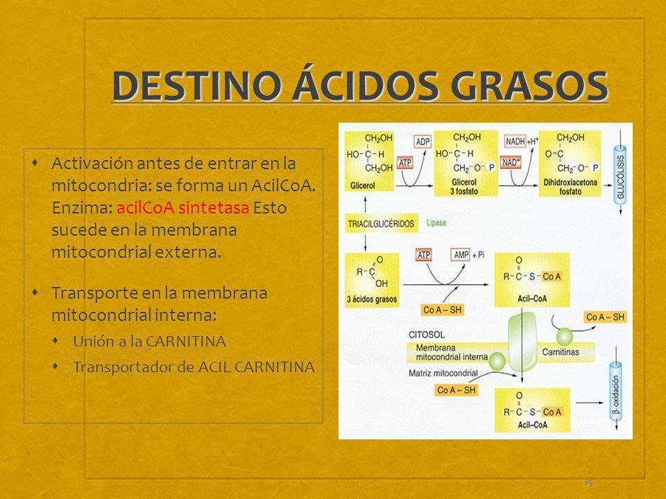 15 DESTINO ÁCIDOS GRASOS Activación antes de entrar en la mitocondria: se forma un AcilCoA. Enzima: acilCoA sintetasa Esto sucede en la membrana mitoc