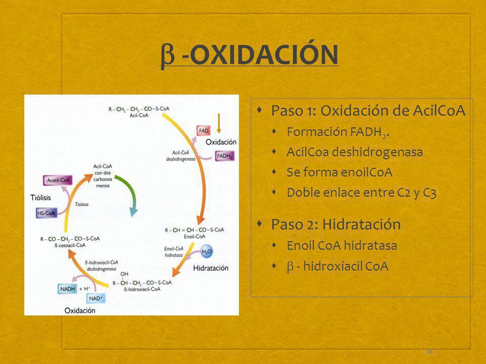 18 -OXIDACIÓN Paso 1: Oxidación de AcilCoA Formación FADH 2. AcilCoa deshidrogenasa Se forma enoilCoA Doble enlace entre C2 y C3 Paso 2: Hidratación E