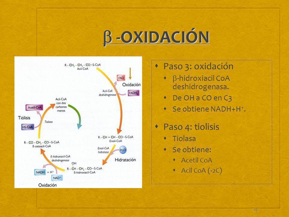 19 -OXIDACIÓN -OXIDACIÓN Paso 3: oxidación -hidroxiacil CoA deshidrogenasa. De OH a CO en C3 Se obtiene NADH+H +. Paso 4: tiolisis Tiolasa Se obtiene: